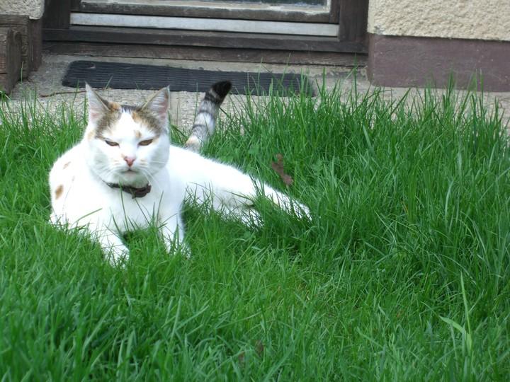 Velika debela bucna maca